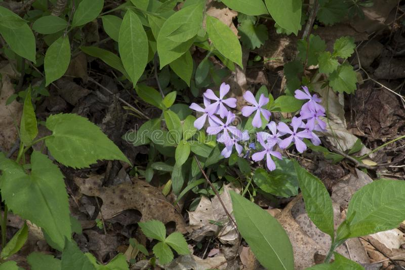 Малые фиолетовые цветки в лесе стоковое изображение