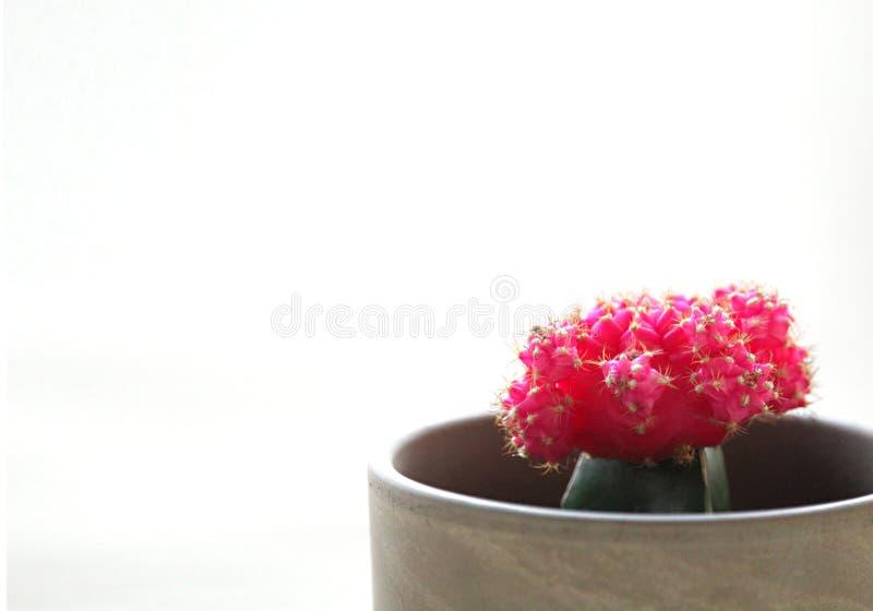 Малый в горшке розовый кактус с белым космосом стоковое фото