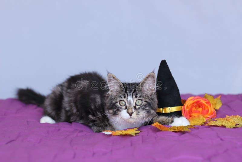 Малый енот Мейна котенка лежа вниз рядом с шляпой ведьмы и оранжевым цветком для партии хеллоуина стоковые фотографии rf