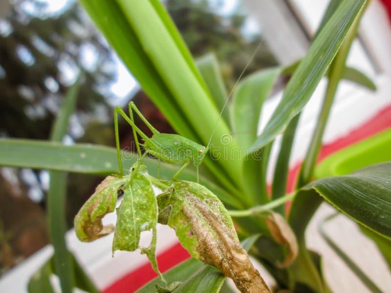Малый зеленый кузнечик стоя на листьях завода стоковые изображения