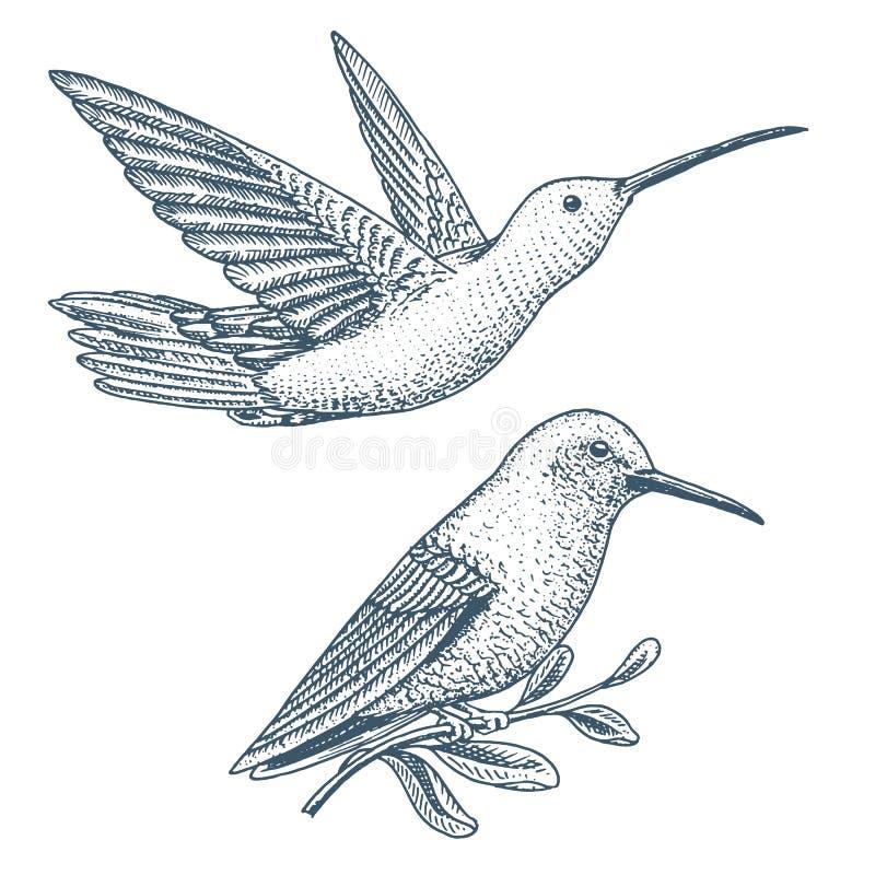 Малый колибри Rufous и Бело-necked птица Jacobin Экзотические тропические животные значки Золотой замкнутый сапфир Польза для бесплатная иллюстрация