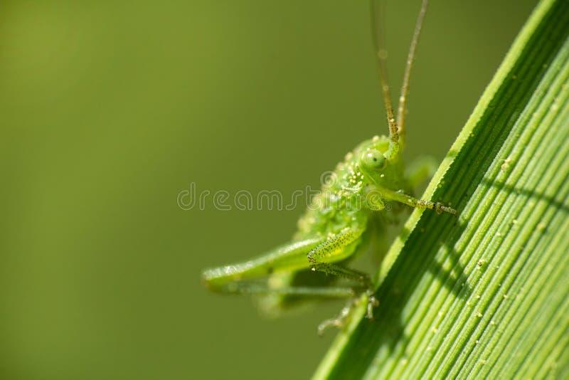 Малый кузнечик сидит на стержне травы, фото макроса стоковое изображение rf