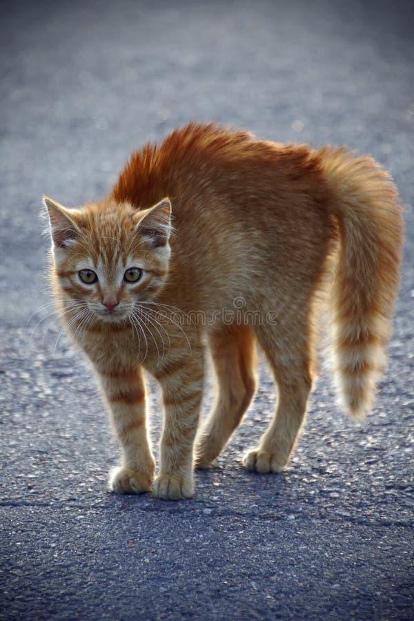 Малый пушистый красный котенок в воюя позиции при виде собаки стоковые изображения rf