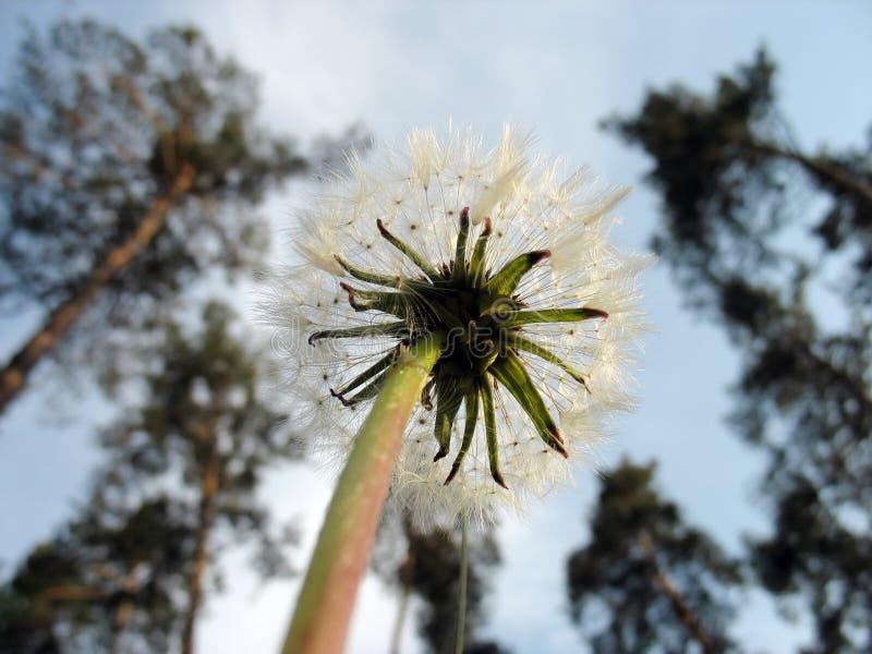 Малый пушистый цветок против неба и высоких деревьев стоковые фото