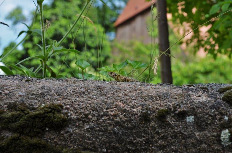 Малый саламандр сидя на камне стоковые изображения