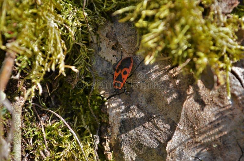Малый цвета огн жук вползая на камне в лесе стоковая фотография
