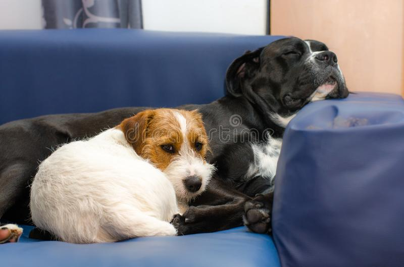 Малый чистоплеменный терьер Джека Рассела собаки спать на кресле рядом с большим amstaff черной собаки Обнятый и любить стоковые фотографии rf