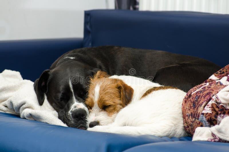 Малый чистоплеменный терьер Джека Рассела собаки спать на кресле рядом с большим amstaff черной собаки Обнятый и любить стоковое фото