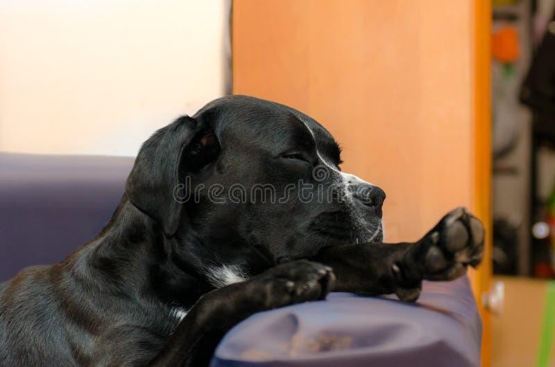 Малый чистоплеменный терьер Джека Рассела собаки спать на кресле рядом с большим amstaff черной собаки Обнятый и любить стоковое фото rf