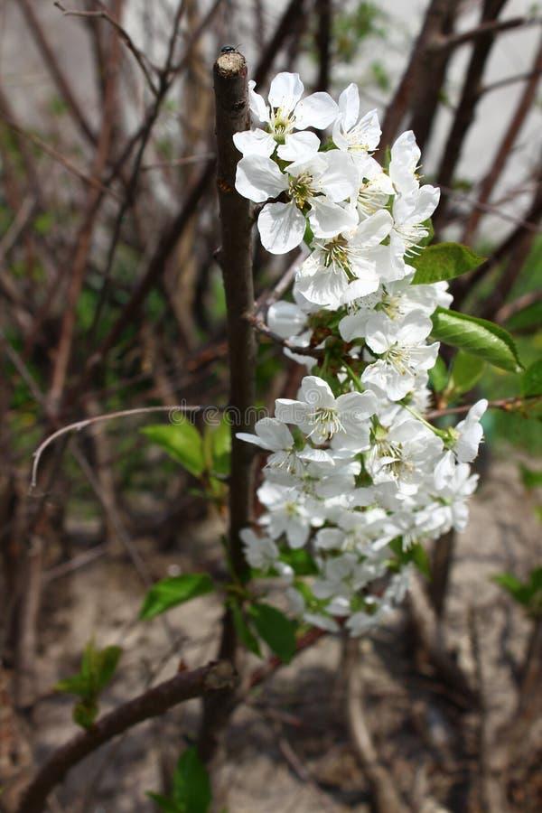 малый mustachioed жук на лепестках blossoming вишни стоковая фотография rf