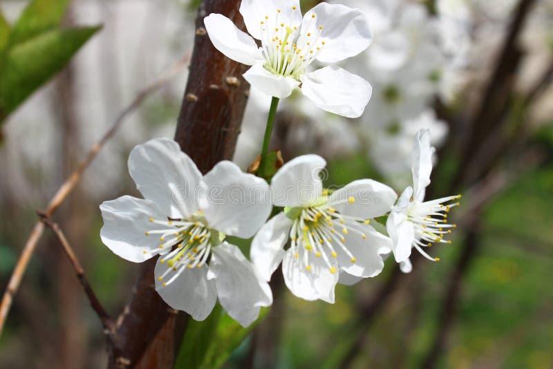 малый mustachioed жук на лепестках blossoming вишни стоковые изображения