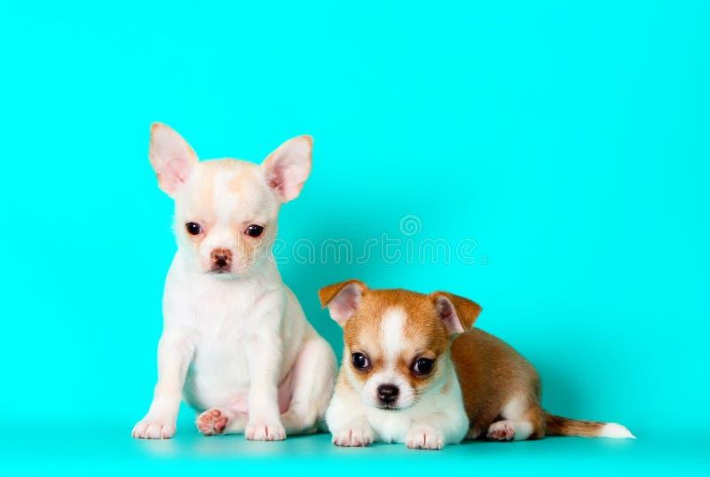 2 малых щенят представляя в студии Много чихуахуа сидя на предпосылке бирюзы стоковая фотография rf