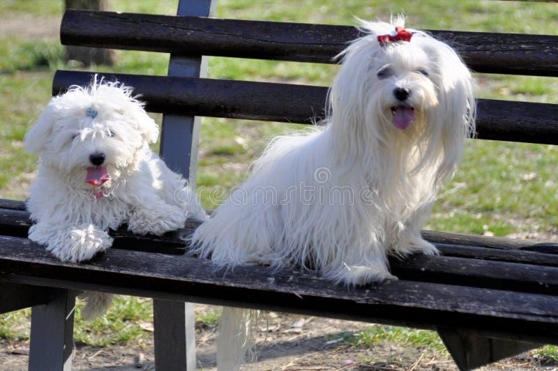 2 мальтийских собаки представляя на скамейке в парке стоковая фотография rf