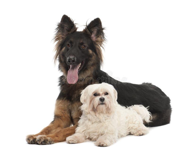 Мальтийсно, 6 лет стары, и собаки немецкого чабана стоковые фото