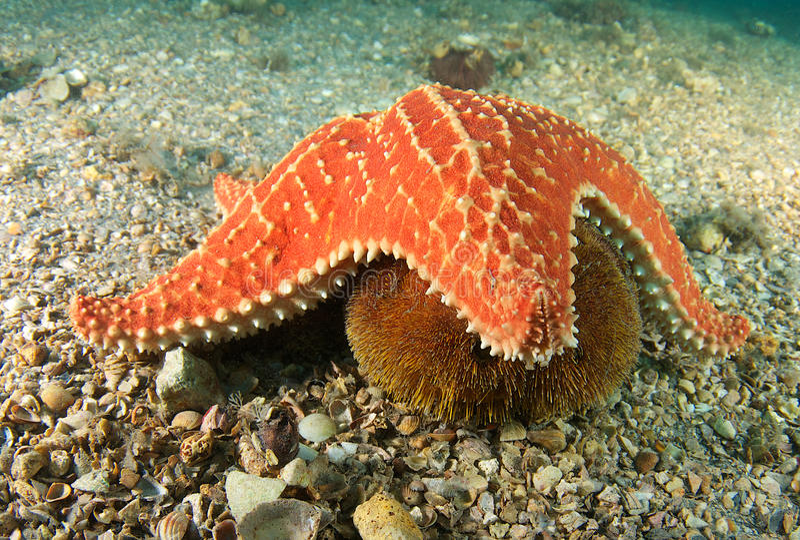 мальчишка звезды моря валика стоковое фото