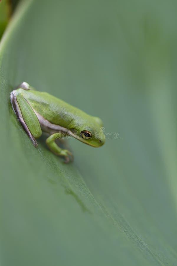 Малюсенькая зеленая лягушка вала - Hyla cinerea стоковые фотографии rf