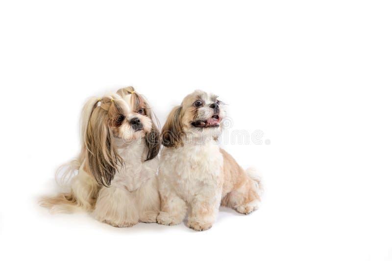 Мама shih-tzu 2 и ее щенок стоковое фото rf