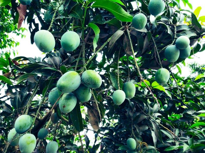Манго в деревом манго окруженном с листьями манго Langra Aam стоковые фото