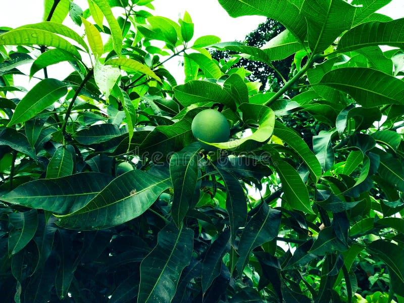 Манго в деревом манго окруженном с листьями манго Langra Aam стоковая фотография