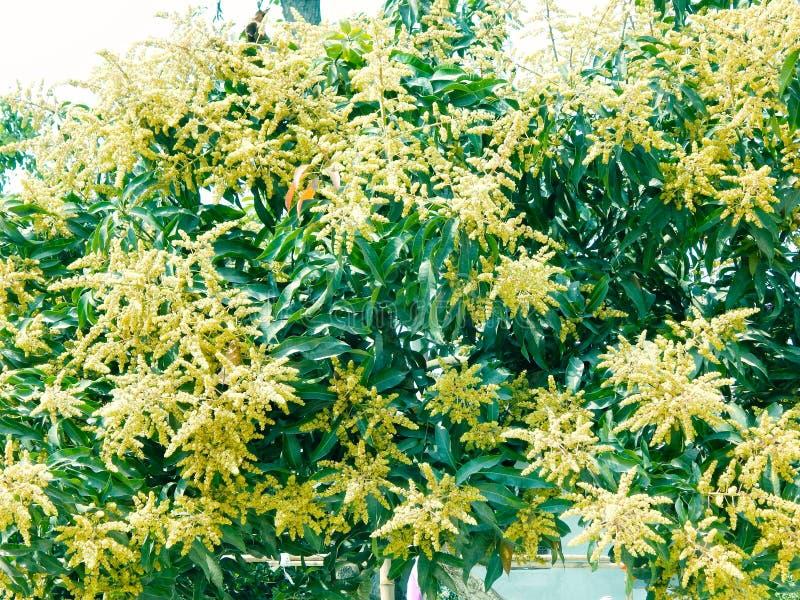 Манго в деревом манго окружило цветение цветка withMango, ka Manzar Aam стоковое фото