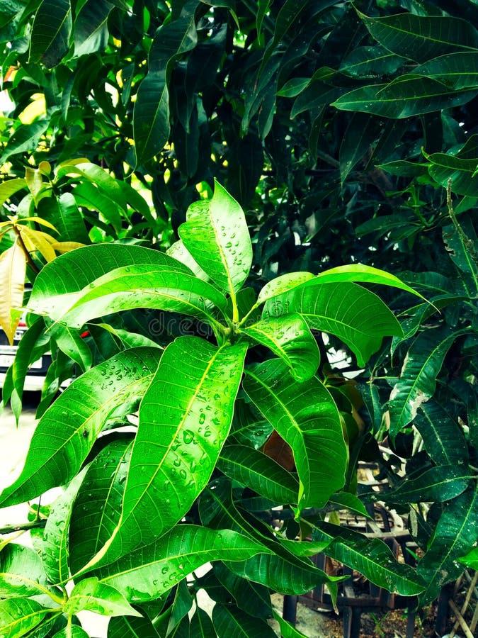 Манго в деревом манго окружило цветение цветка withMango, ka Manzar Aam стоковые изображения