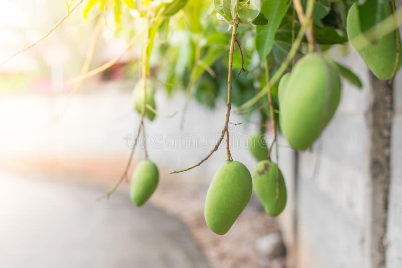 Манго на дереве стоковые изображения