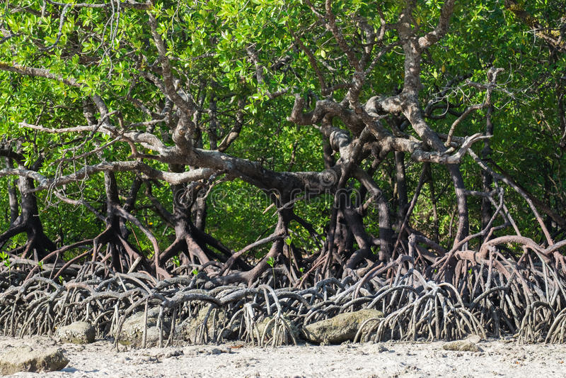 Мангрова reforest стоковое фото rf