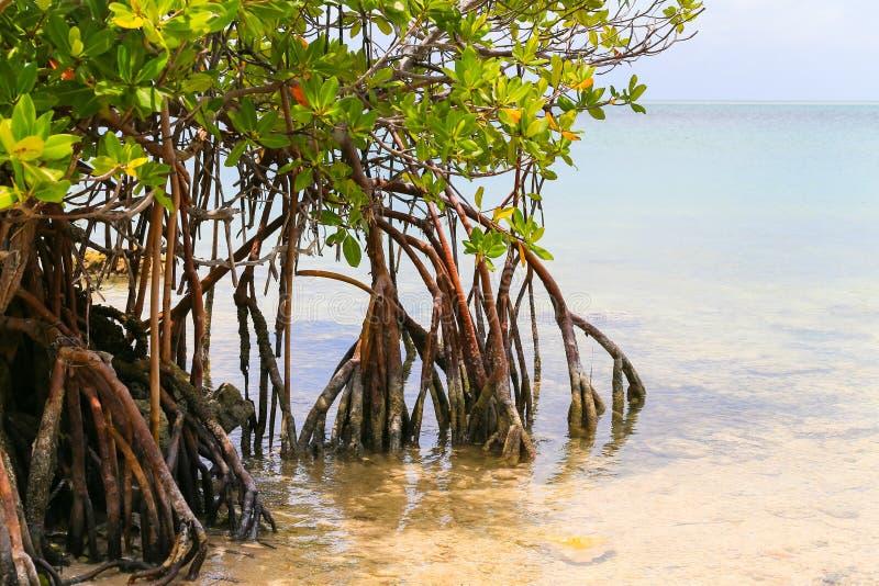 Мангровы в ключах Флориды стоковая фотография