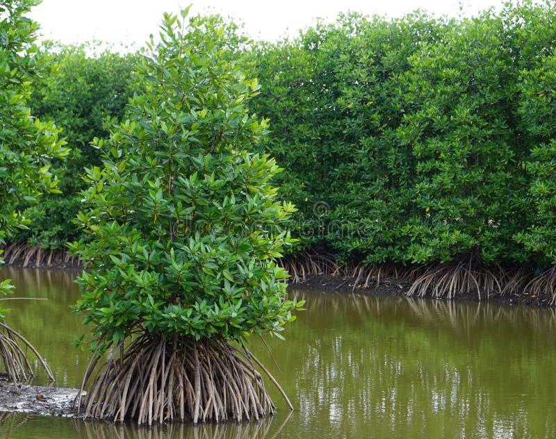 мангровы стоковое изображение rf