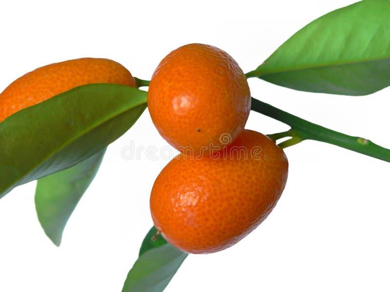мандарины ветви стоковые изображения rf