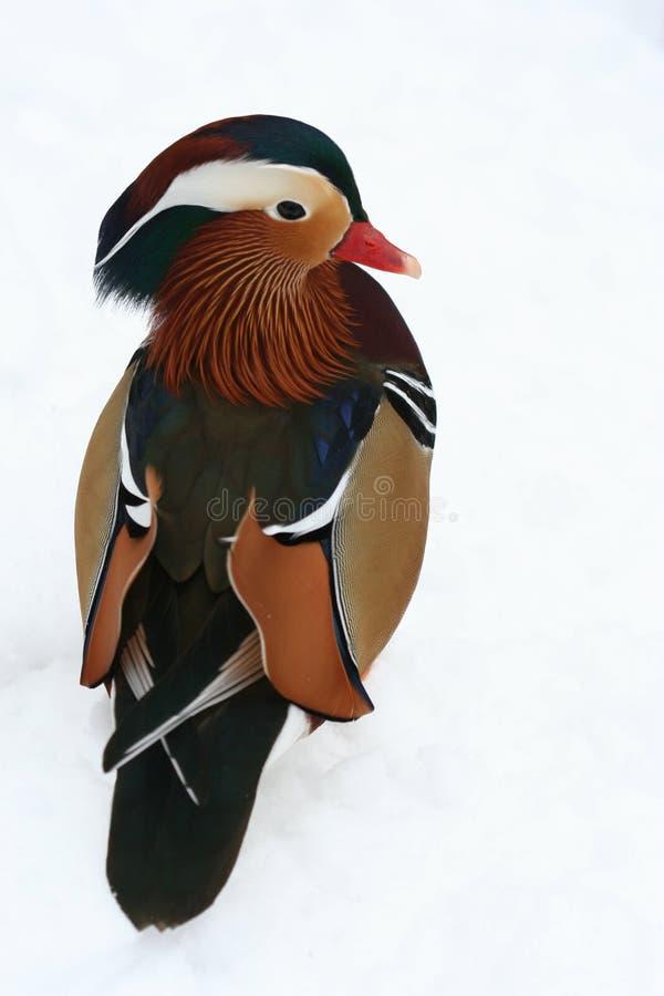 мандарин утки стоковые изображения