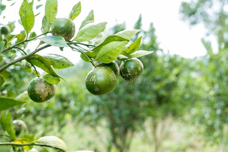 Мандарины, плодоовощи, поют, зеленеют, рост, куст, дерево, природа Тропический экзотический остров Бали, Индонезия стоковая фотография