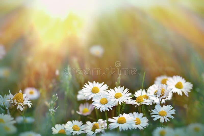 Маргаритка в траве освещенной солнечным светом стоковое фото rf