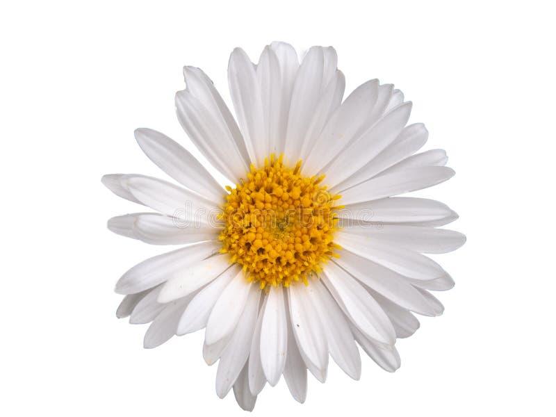 Маргаритка изолированная на белой предпосылке стоковое изображение