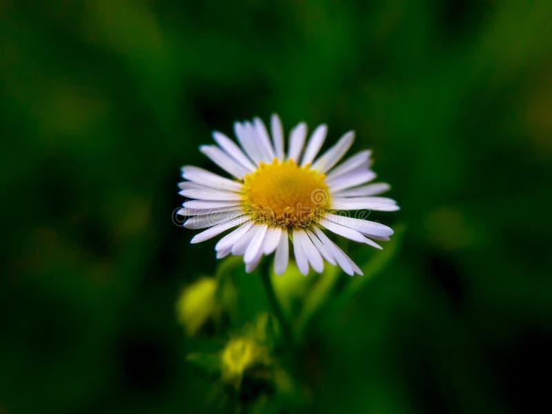 Маргаритка и трава стоковые изображения