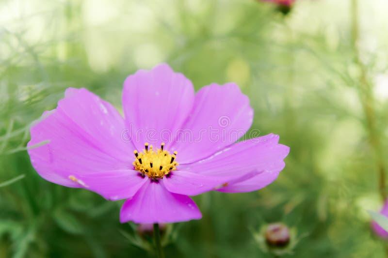 Маргаритка космоса цветет в годе сбора винограда дня сада естественном стоковые фото