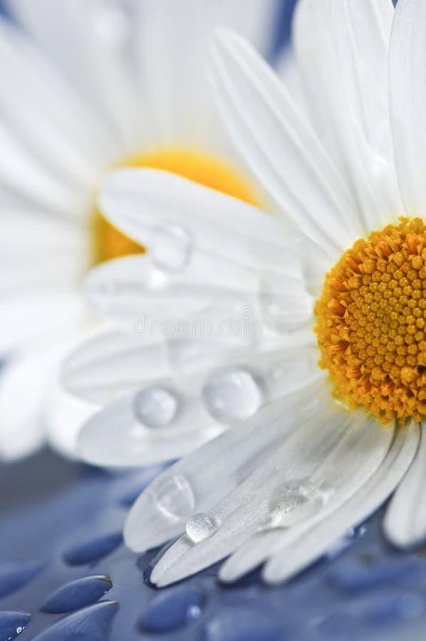 маргаритка падает вода цветков стоковые фото