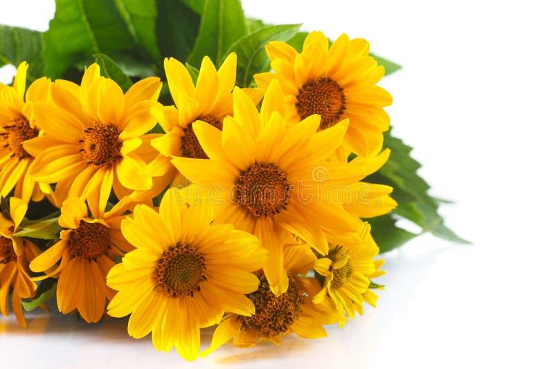 маргаритка пука цветет желтый цвет стоковые фото