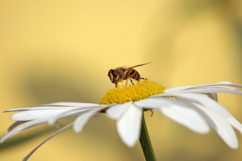 маргаритка пчелы стоковая фотография rf