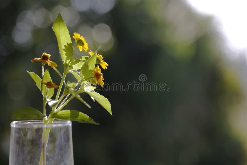 Маргаритка Сингапура цветка маргаритки на желтом цвете таблицы и сада стоковая фотография rf
