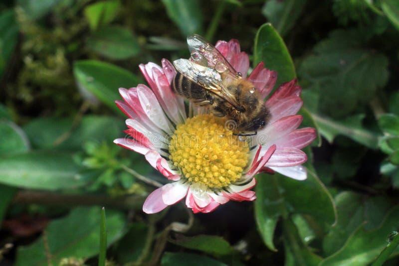 Маргаритка с пчелой (perennis Bellis) стоковое фото rf