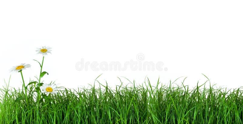 маргаритка цветет зеленый цвет травы стоковые фото