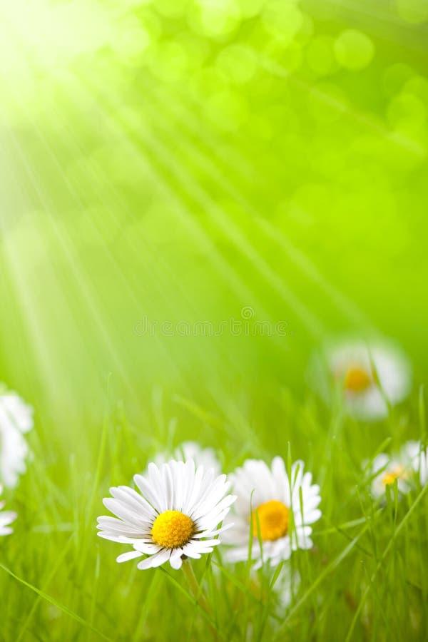 маргаритка цветет лето стоковое изображение