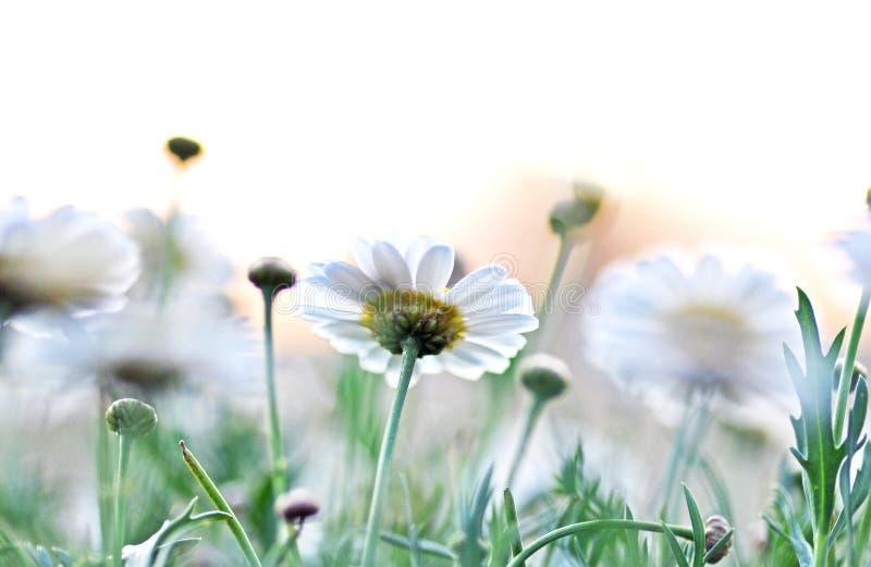 Маргаритки абстрактного расплывчатого цвета предпосылки белые свежие мягкие стоковые фото