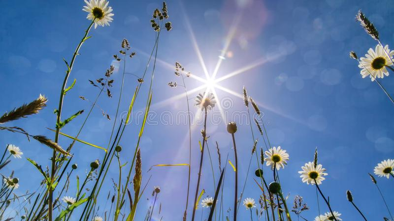 маргаритки греют на солнце вниз стоковые фотографии rf