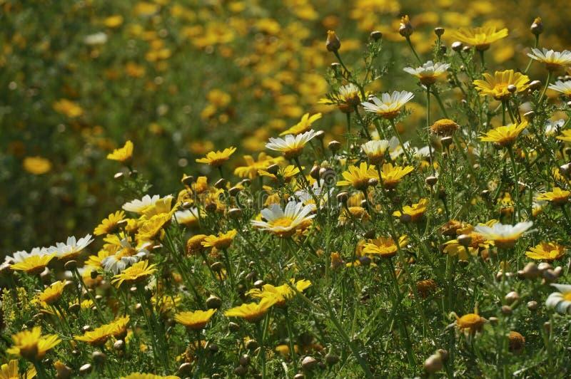 Маргаритки кроны в поле маргариток кроны стоковая фотография rf