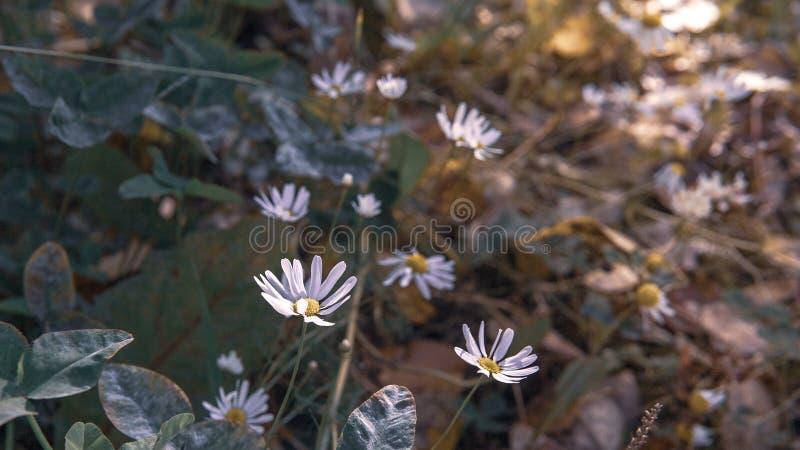 Маргаритки осени на поле стоковое изображение rf