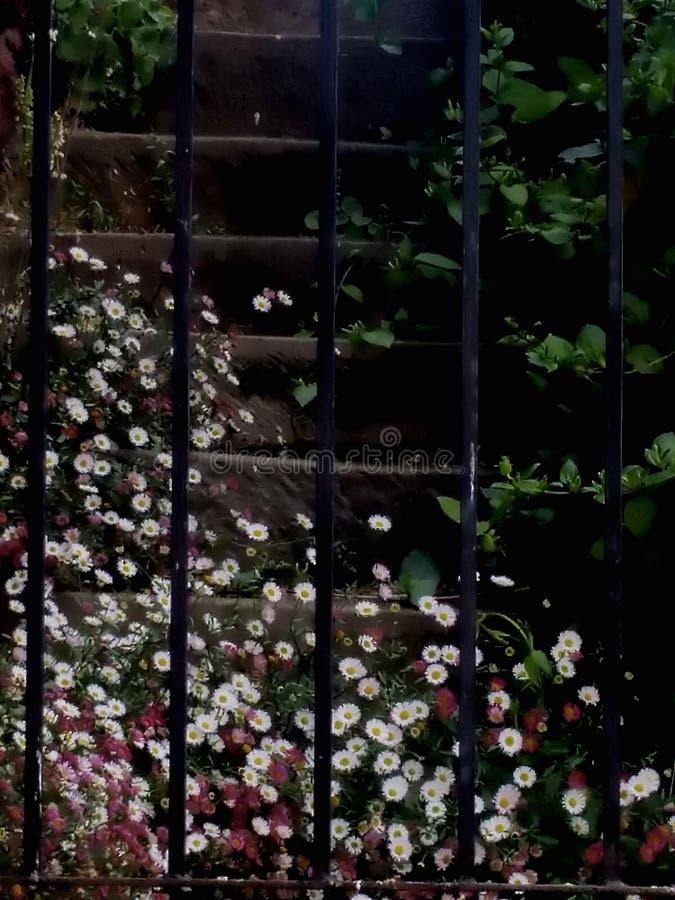 Маргаритки пинка и белых на шагах сада стоковая фотография