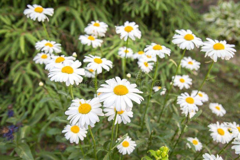 Маргаритки поля белые на предпосылке зеленой травы r стоковые фотографии rf
