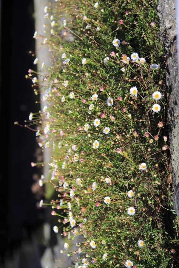 Маргаритки растут высокорослыми на небольшом луге на стене стоковые фотографии rf